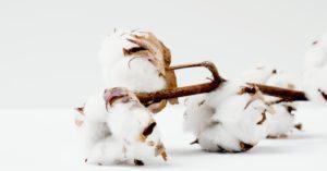 Cotton plant | Cotton Fabric | Roberta Style Lee sustainable wardrobe series on organic cotton